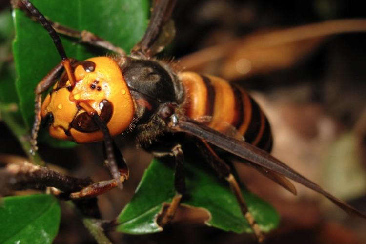 La avispa asiática: una peligrosa especie invasora
